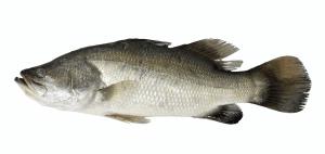 A Barramundi fish typically foud further off the coast of Western Australia.