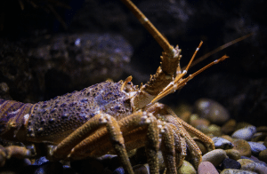 The West Australian Rock Lobster also known as the crayfish.