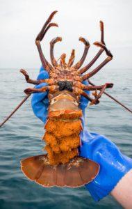 Berrying female crayfish.