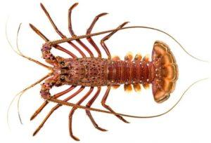 Western rock lobster in white background.