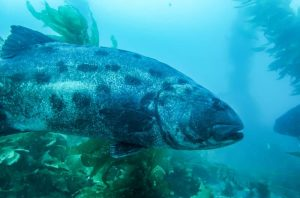 The Giant Sea Bass is also referred to as black sea bass or giant black sea bass.