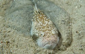 Stargazer fish prey on small fish, crabs, and other crustaceans.